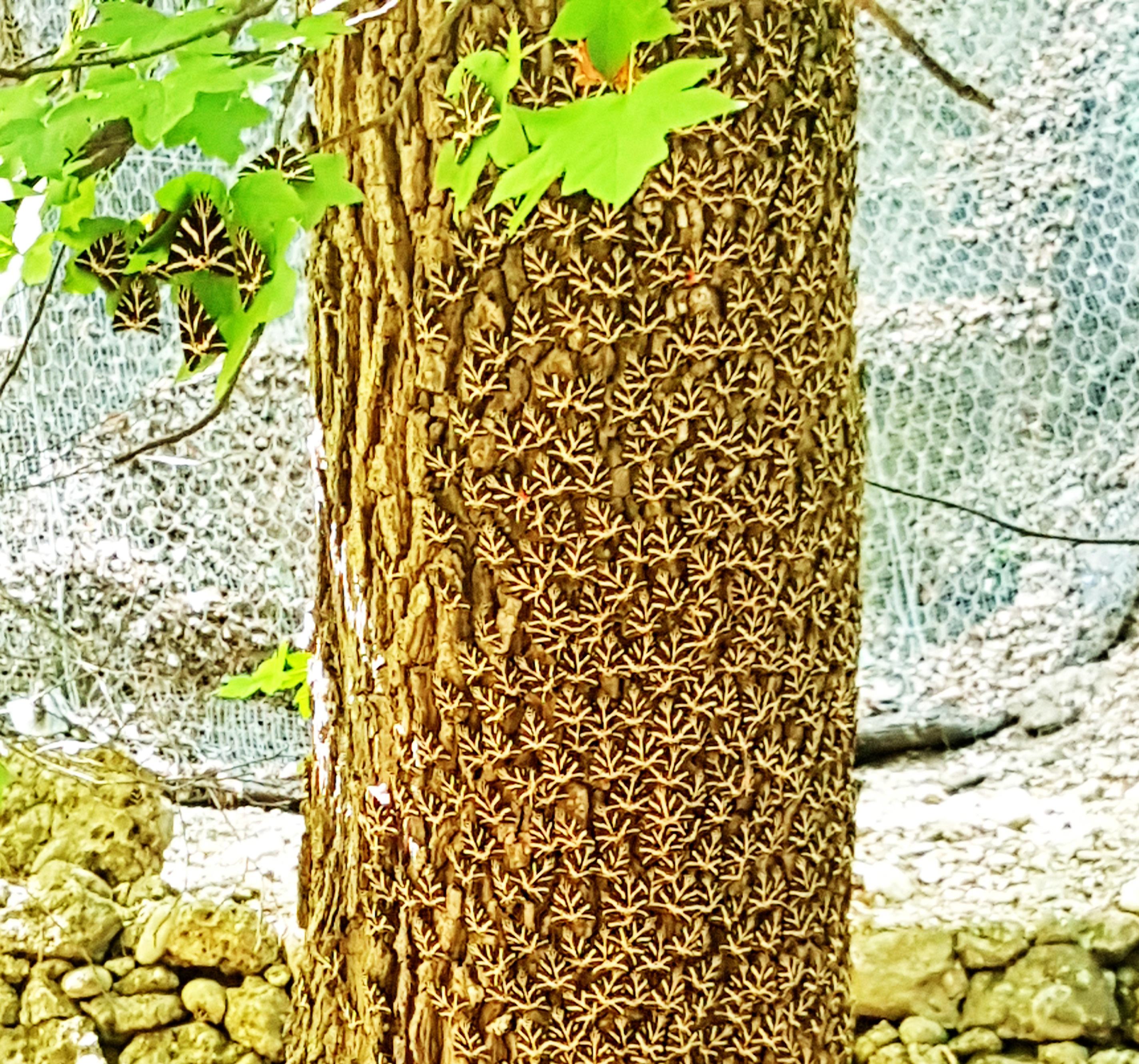 Rodos Kelebekler Vadisi ağacın üstü kelebekle kaplı