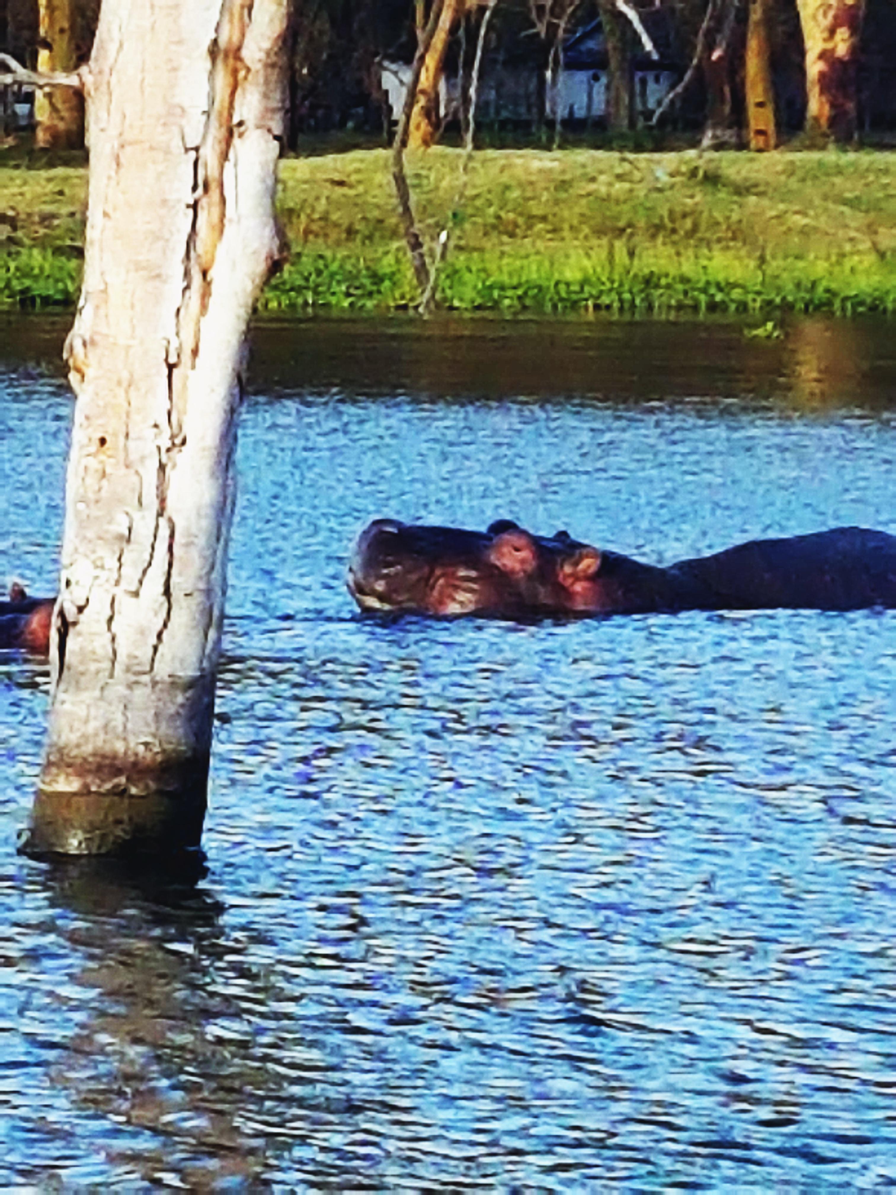 Lake Naivasha, gördüğüm ilk hipopotam