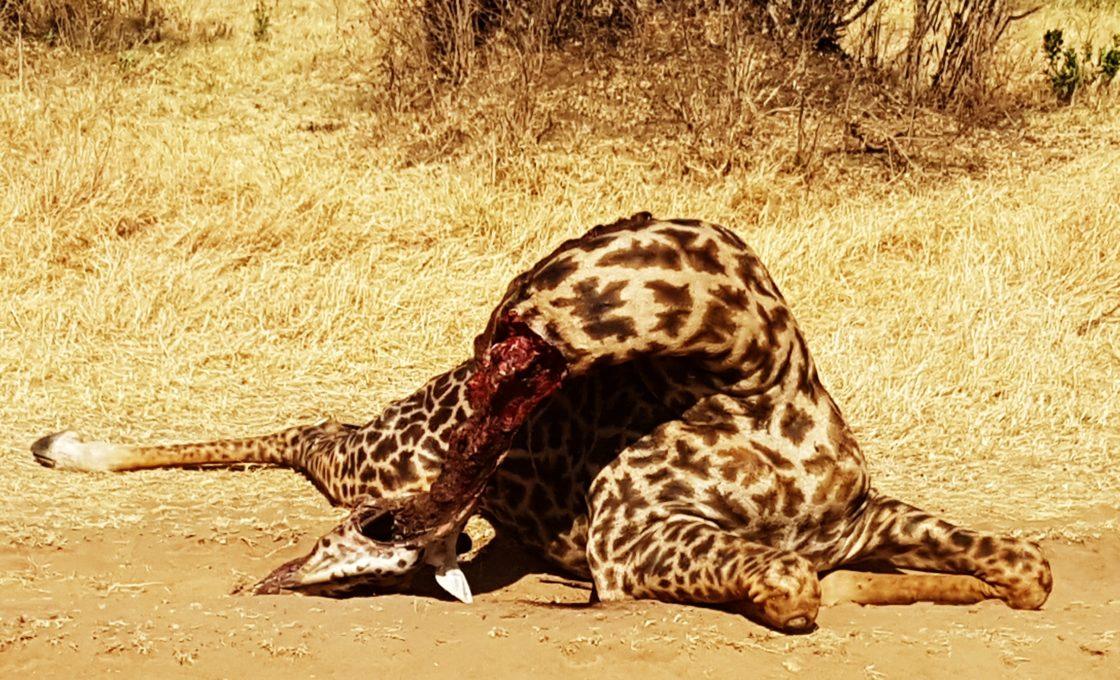 Öldürülmüş zürafa
