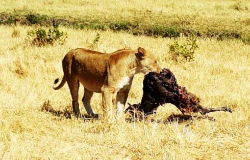 Aslanların yemek saati