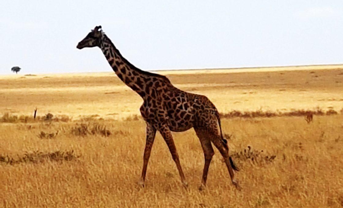 Yalnız zürafalar