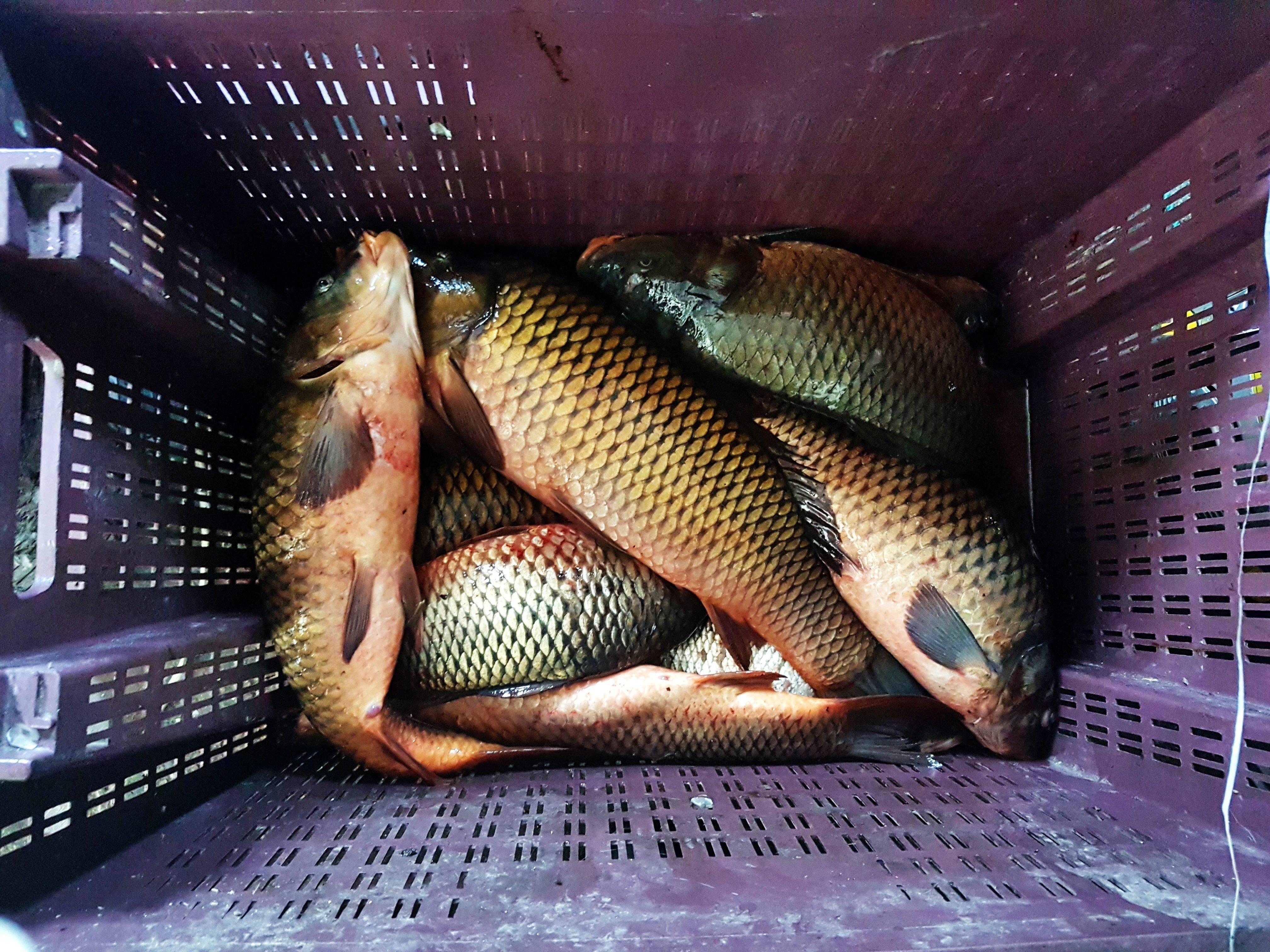 Sarı Balıklar