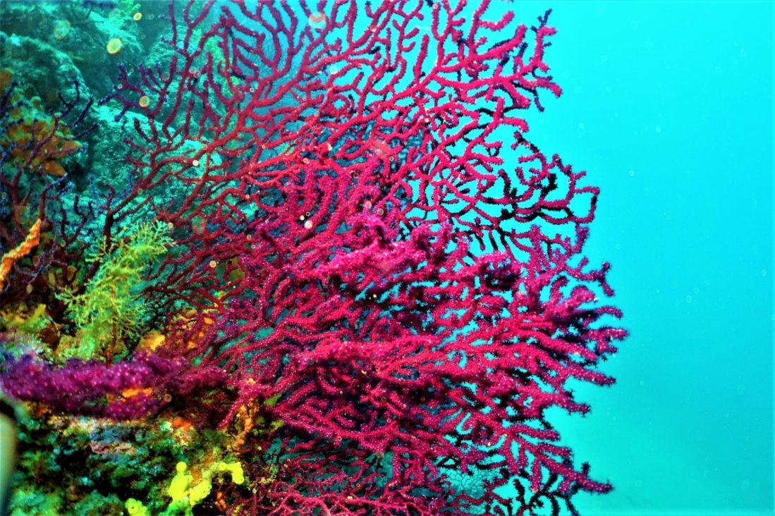 Ayvalık Kırmızı mercanlar